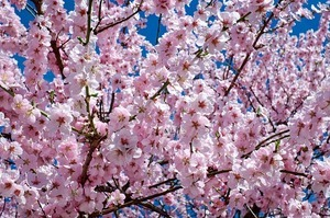 japanese-cherry-trees-2168858_640.jpg